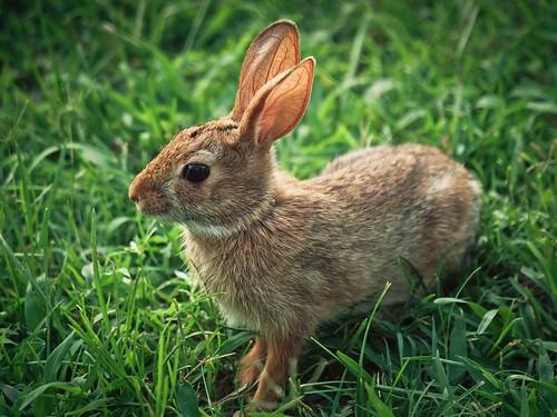 rabbit bunny © northcarolina backyardwildlife garyburke olympuse620 zuiko50200mmf28swd