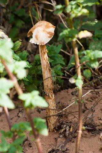 Sandy stiltball - mature specimen