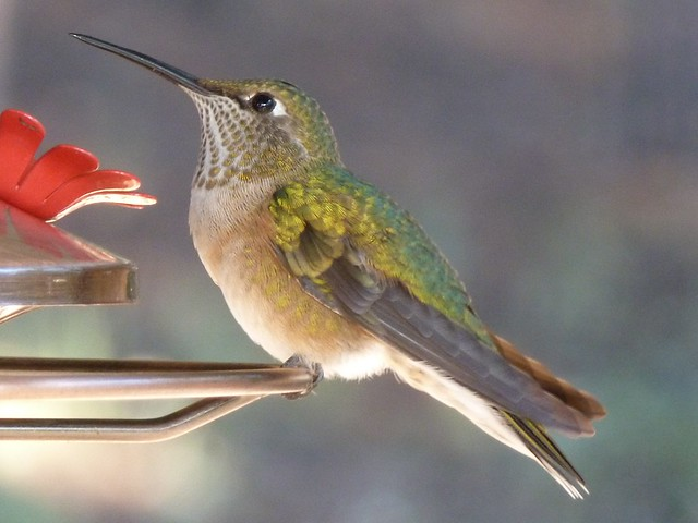 Hummingbird Morning