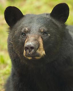 Black Bear in the back yard   Andre Chenier   Flickr