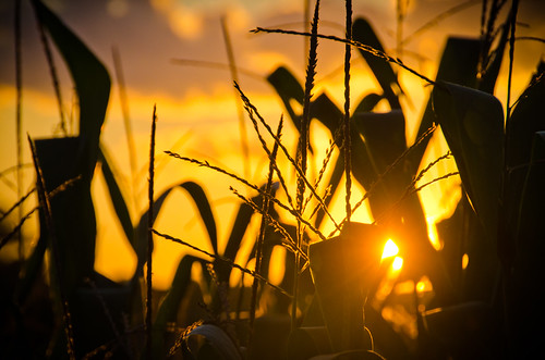 sunset orange corn glow yum stalk tassels lancastercountypennsylvaniafarmpanikond7000washingtonboromattgerlachphotography