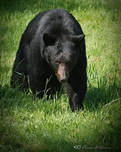 Black Bear, my back yard Photo © Dennis Connor   Camas, WA ...