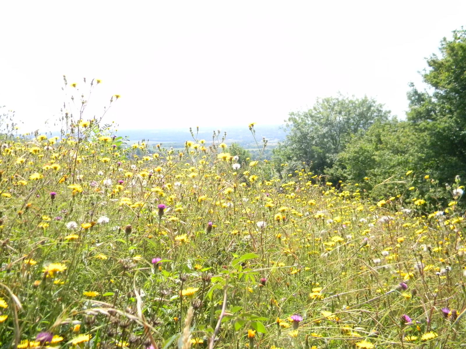 Wildflowers Meadows above Otford Eynsford Circular
