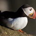 Puffin, Latrabjarg by doctor_steve