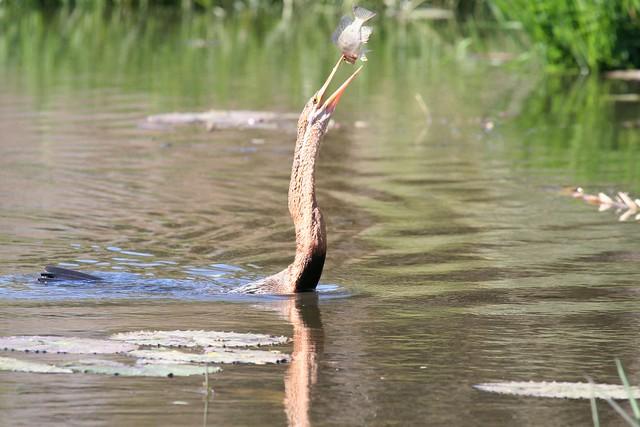 Flipping fish