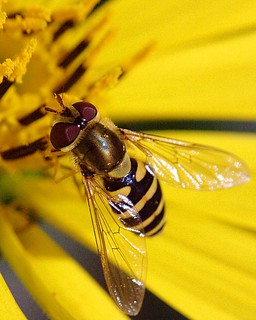 Hoverfly | by Iguanasan