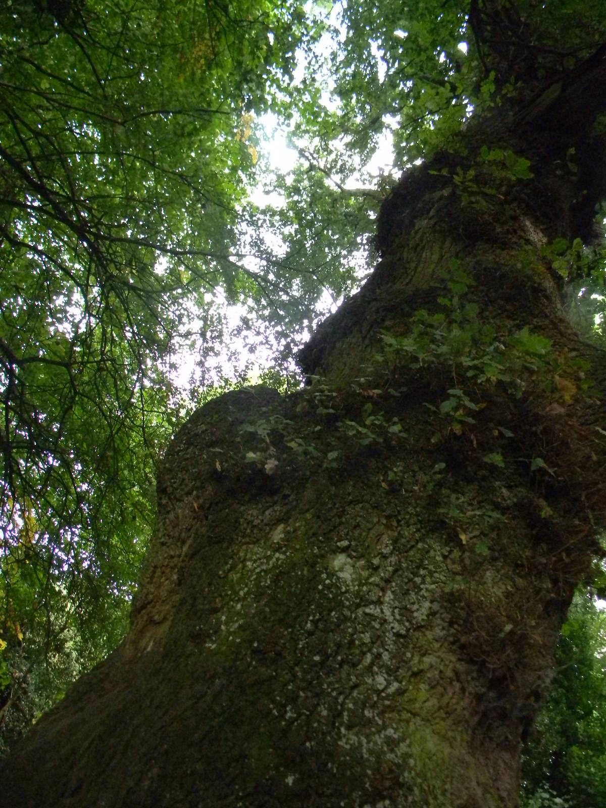 Tree Eynsford Circular