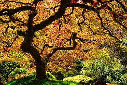 tree landscape japanesemaple portlandjapanesegarden