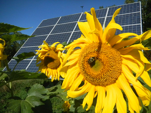 Sunflower Solar | by Sterling College