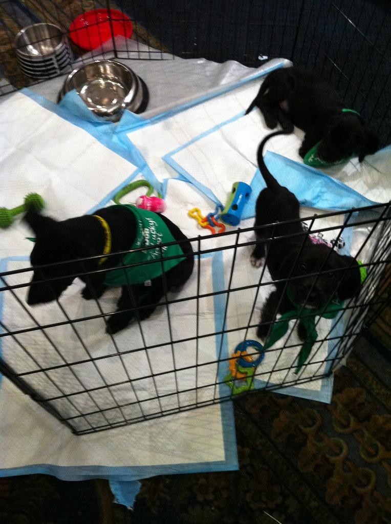 adopt puppies