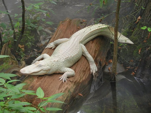 white mist aquarium log alligator northcarolina albino lounging wilmington fortfisher americanalligator sunning alligatormississippiensis northcarolinaaquariumatfortfisher