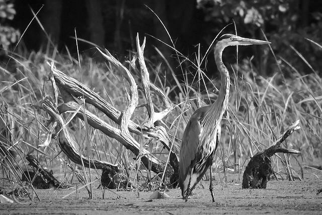 MAP5872 Heron Dead Wood Pose