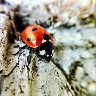 Ladybird #macro #olloclip