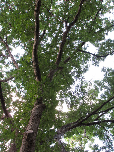 plant tree oak quercus northcarolina botany whiteoak westernnorthcarolina fagaceae quercusalba ccbyncsa danielboonenativegardens canonpowershotsx10is