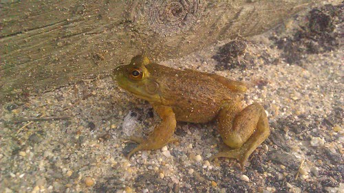wood cute closeup sunrise ma found morninglight sand walk amphibian frog beam mass froggy gravel morningwalk lunenburg