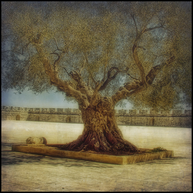 Ancient Olive Tree on the Temple Mount