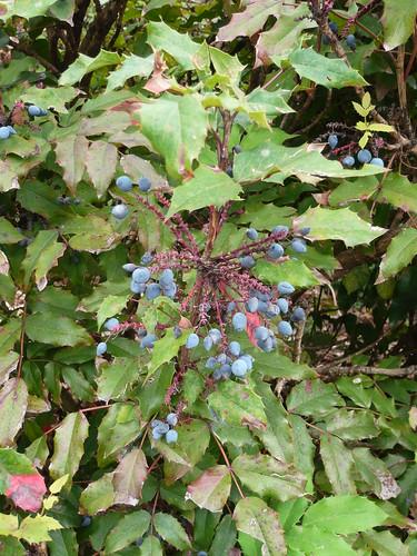 Mahonia Oregan Grape | by brianpettinger