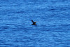 Heinroth's Shearwater, at Sea off New Ireland by Terathopius