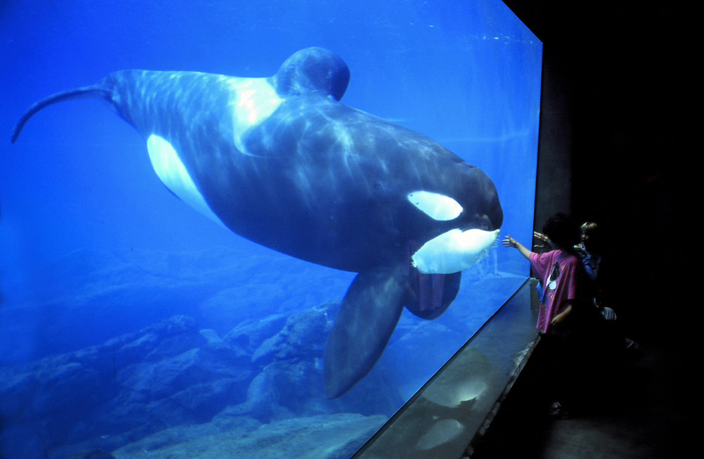 Keiko Orca, Oregon Coast Aquarium Pat Hathaway© | Keiko, Ore… | Flickr