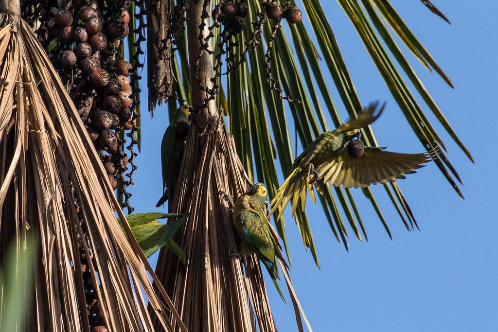 Red-bellied Macaws (Orthopsittaca manilata)