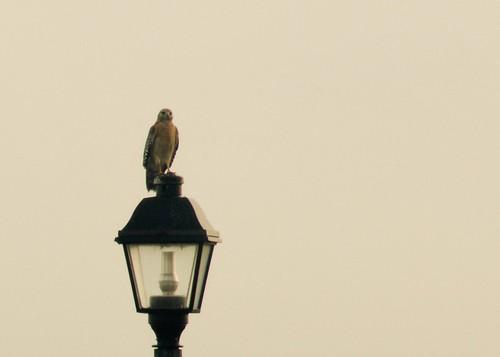 bird streetlamp hawk