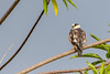 Pearl Kite | Cernícalo (Gampsonyx swainsonii leonae) by ferjflores