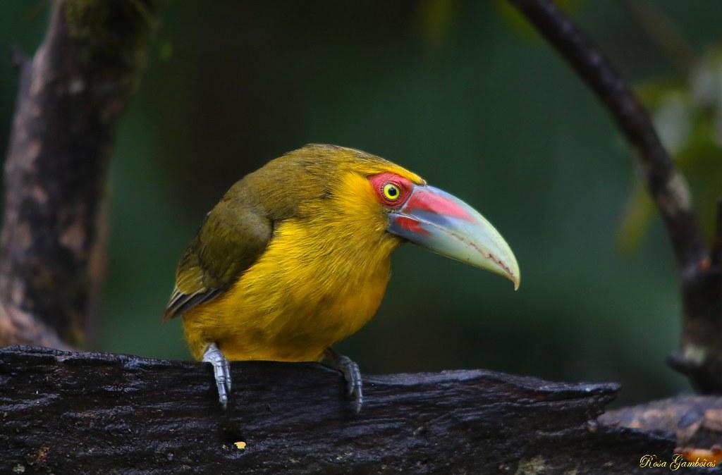 Araçari-banana   Saffron Toucanet (Pteroglossus bailloni)