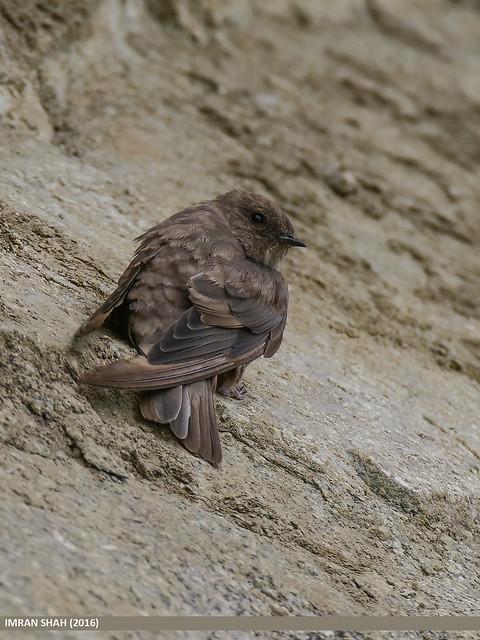 Eurasian Crag Martin (Ptyonoprogne rupestris)
