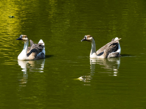 Chinese geese, West Park