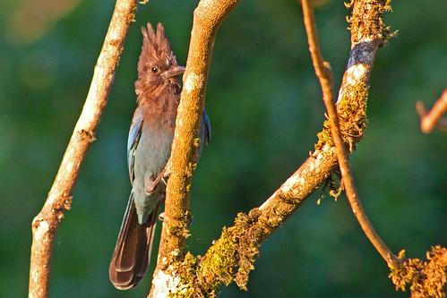 bird nature bluebird stellersjay cyanocittastelleri