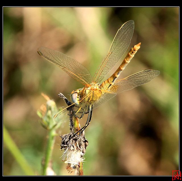 Sympetrum fonscolombii femelle