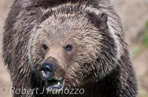 bear yellowstonenationalpark yellowstone grizzly grizz grizzlybear goldwildlife