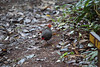 Crimson-headed Partridge, Mount Kinabalu, Borneo by Terathopius