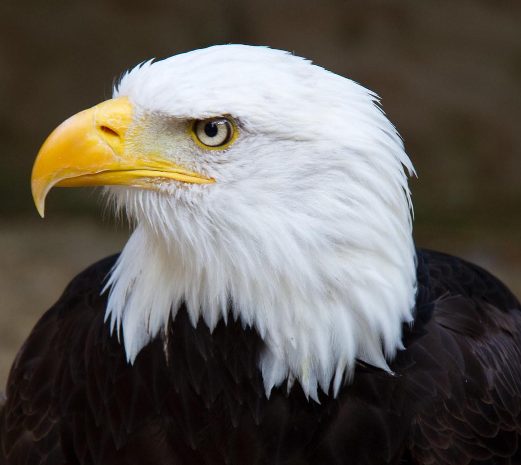 Bald Eagle Head 2