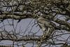 Eastern (Pale) Chanting-Goshawk by Bob Gunderson