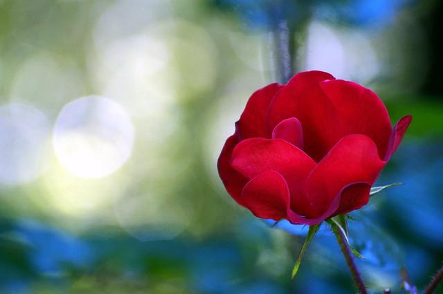 Simple Summer Rose
