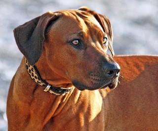 zola x | by Zola the Rhodesian Ridgeback Girl