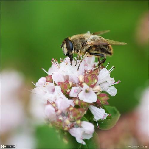ireland flower macro insect fly cavan herb eristalis dronefly marjoram origanum origanumvulgare eristalistenax