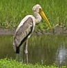 Painted Stork (Mycteria leucocephala) by Suri JV (on and off)