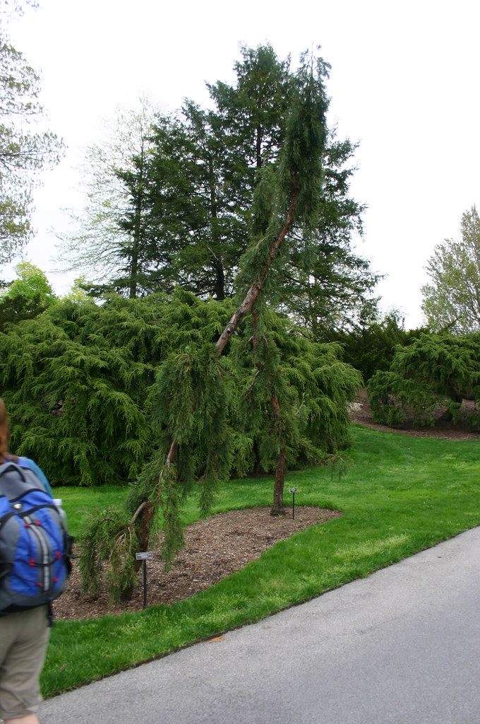 Beneson Ornamental Conifers Weeping Giant Sequoia Flickr