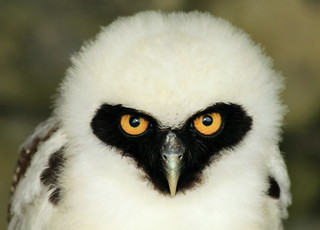 Spectacled Owl 2166 | by Wildlife Ranger