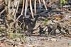 Crypturellus parvirostris by jquental