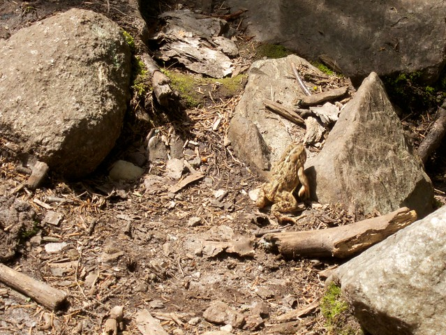 3:40:10 (75%): animal hiking newhampshire toad orford mtcube crossrivendelltrail