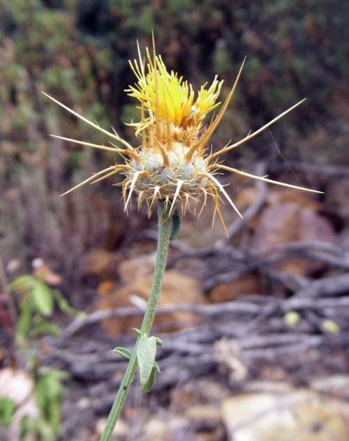 Centaurea solstitialis 6122925594_4ce39c6028_o