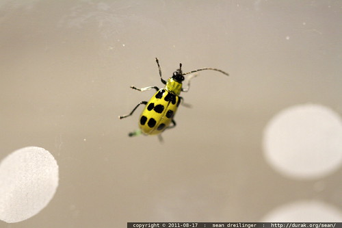 spotted yellow insect in a dusty glass - MG 7942.JPG | by sean dreilinger