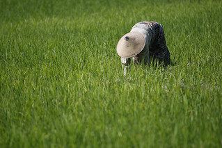 Timor Woman at Work in Rice Fields | by United Nations Photo