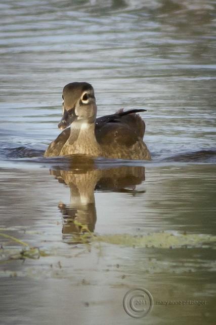 MAP4073 Jr. Wood Duck