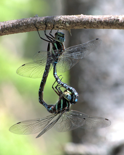 An image of two dragonflies mating.