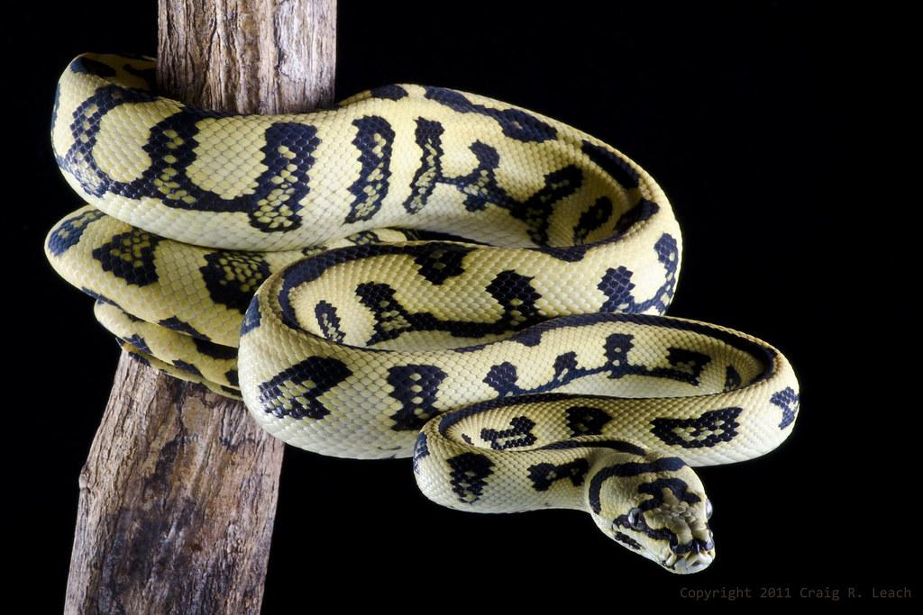 ... Jungle x Jaguar Carpet Python   by -craigulator-