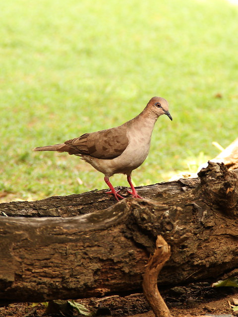 white fronted dove
